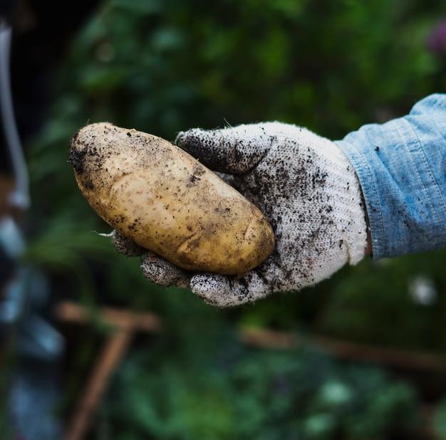 Erwachsene mann-hand, die frische kartoffel mit boden hält