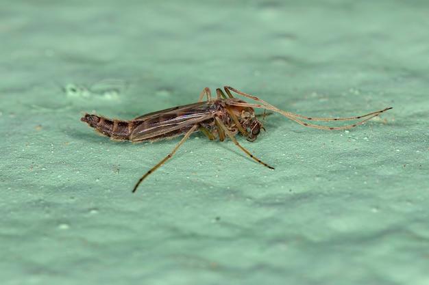 Erwachsene nicht beißende mücke der familie chironomidae