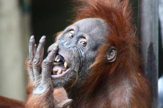 Erwachsene orang-utan