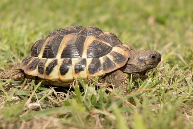 Erwachsene schildkröte auf dem rasen in den blättern des kleegehens