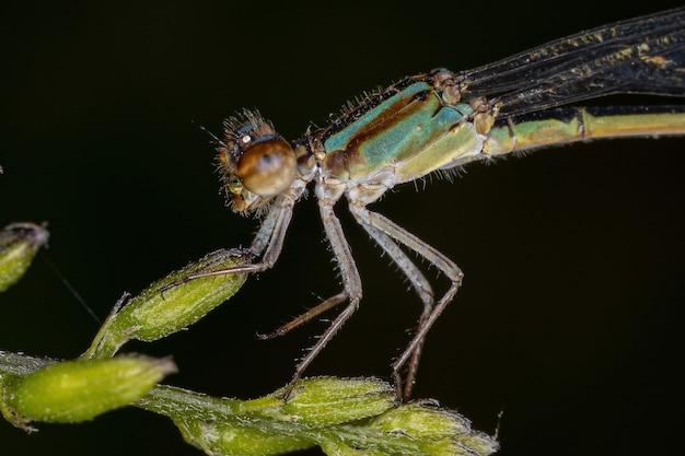 Erwachsene schmalflügel-rüsche der familie coenagrionidae