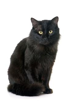 Erwachsene schwarze katze