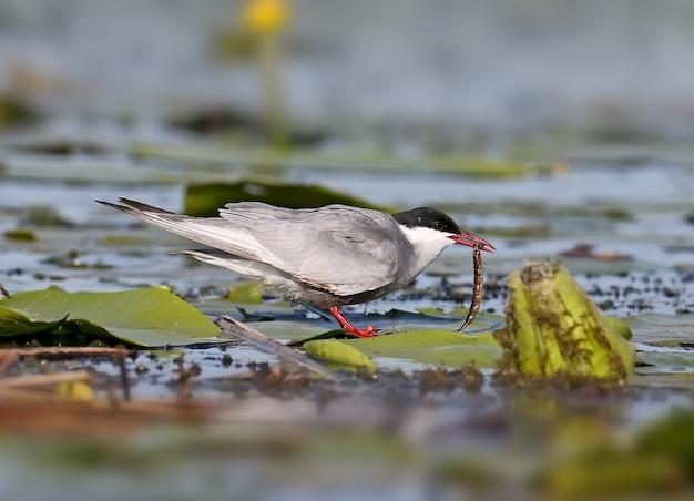 Erwachsene seeschwalbe sitzt in der nähe ihres nestes mit einem futter für küken im schnabel Premium Fotos