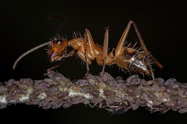 Erwachsene tischlerameise der gattung camponotus, die mit blattläusen in einer pflanze interagiert