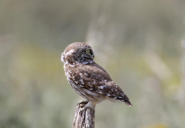 Erwachsene und junge kleine eulen (athene noctua) befinden sich in der nähe des nestes in einem natürlichen lebensraum.