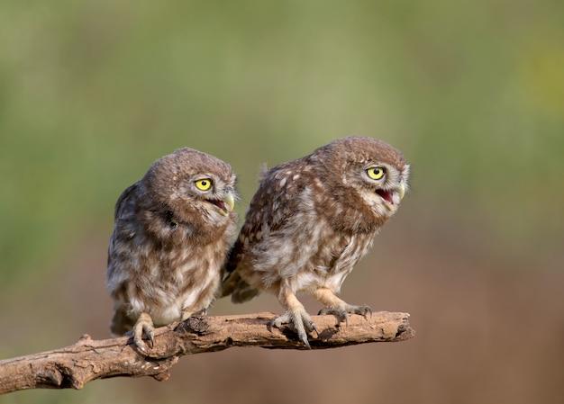 Erwachsene vögel und kleine eulenküken athene noctua sind aus nächster nähe