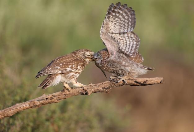 Erwachsene vögel und kleine eulenküken (athene noctua) werden aus nächster nähe auf einem unscharfen hintergrund fotografiert.