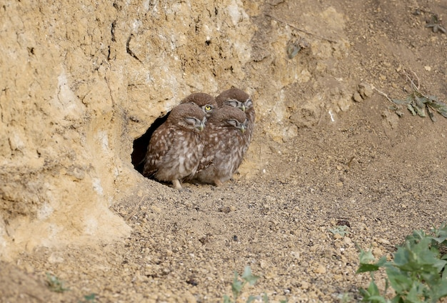 Erwachsene vögel und kleine eulenküken (athene noctua) werden aus nächster nähe fotografiert