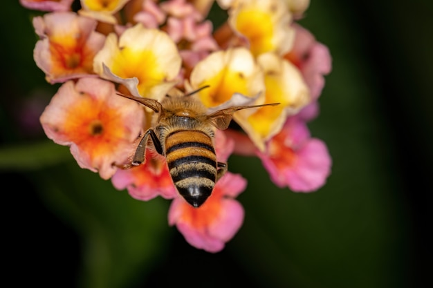 Erwachsene westliche honigbiene der art apis mellifera bestäubt die pflanze lantana camara