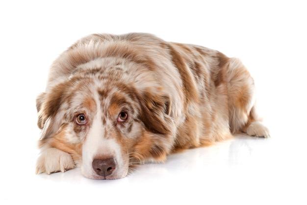 Erwachsener australischer schäferhund