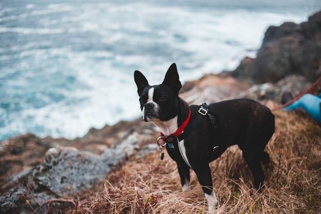 Erwachsener boston terrier nahe dem ozean