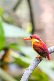 Erwachsener eisvogel mit rufous-rücken sitzt und ruht sich aus