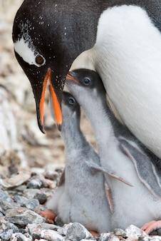 Erwachsener gentoo pinguin mit küken.