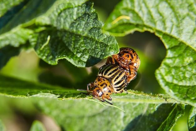 Erwachsener gestreifter colorado-käfer, der junge grüne kartoffelblätter isst