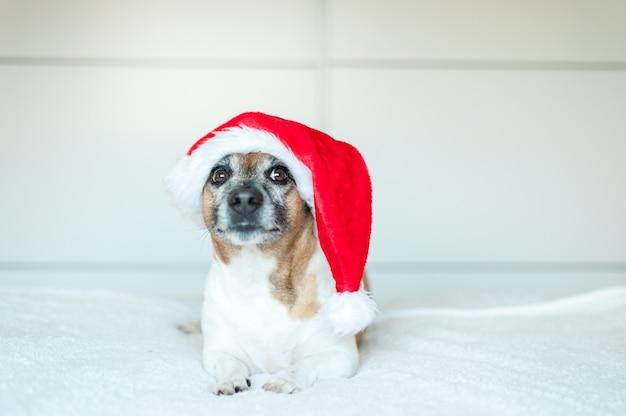 Erwachsener jack russell hund mit weihnachtsmütze auf weißem hintergrund liegend und in die kamera schaut