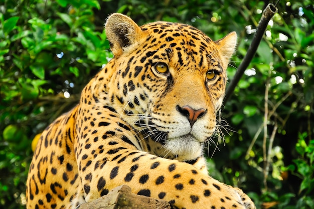 Erwachsener jaguar