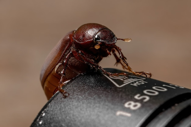 Erwachsener juni käfer der unterfamilie melolonthinae