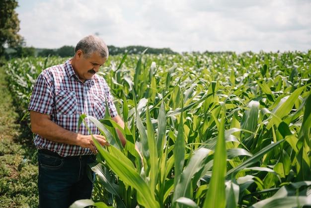 Erwachsener landwirt, der pflanzen auf seiner farm überprüft. agronom hält tablette im maisfeld und untersucht pflanzen. agribusiness-konzept. landwirtschaftsingenieur, der in einem maisfeld mit einer tablette steht.