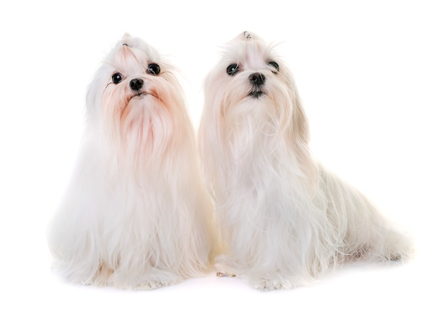 Erwachsener malteser hund