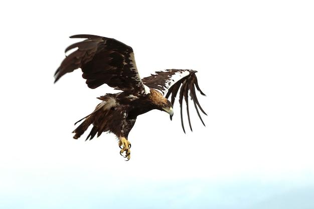 Erwachsener mann des spanischen kaiseradlers, der in einem mittelmeerwald an einem bewölkten tag fliegt
