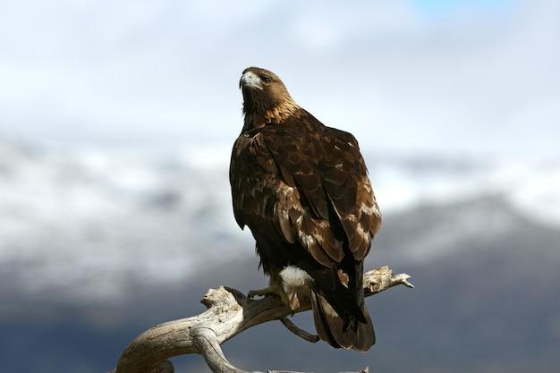 Erwachsener mann des steinadlers, raubvögel, vögel