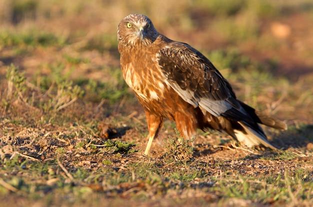 Erwachsener mann von western marsh harrier mit den letzten lichtern des nachmittags