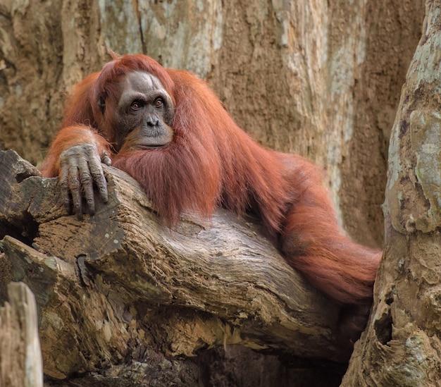 Erwachsener orang-utan, der auf einem baum stillsteht