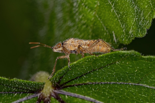 Erwachsener pentatomomorph bug der infraorder pentatomomorpha