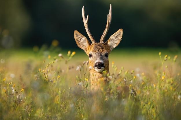Erwachsener rehbockbock mit langen geweihen, die im gras mit wildblumen suchen suchen