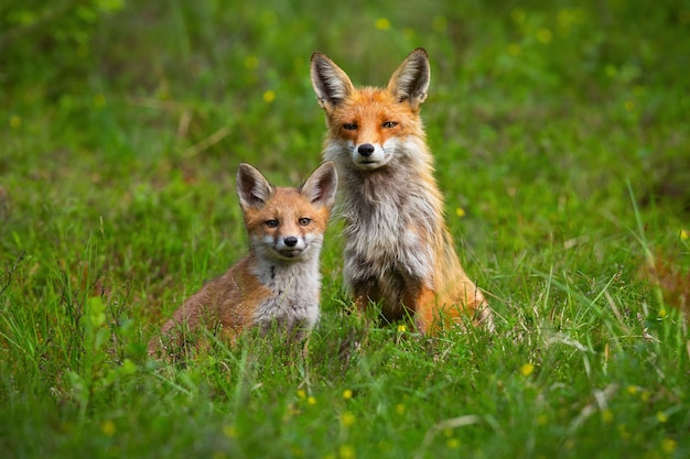 Erwachsener rotfuchs und ein jungtier sitzen friedlich zusammen auf einer grünen lichtung im frühjahr