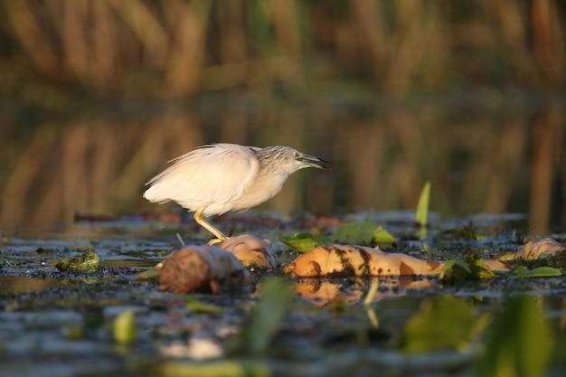Erwachsener squacco-reiher (ardeola ralloides) schoss in der weichen morgenlicht-nahaufnahme auf einer fischjagd