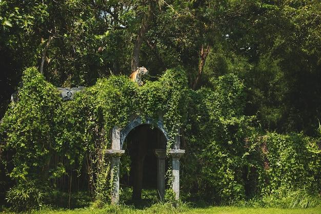 Erwachsener tiger versteckte sich in den ruinen im grünen dschungel
