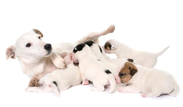 Erwachsener und welpen jack russel terrier