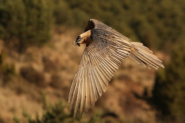 Erwachsener von lammergeier fliegen, aasfresser, geier, vögel, falke, gypaetus barbatus