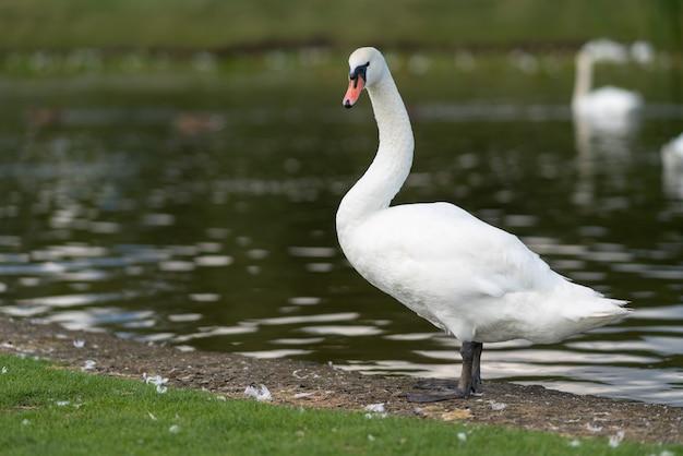 Erwachsener weißer schwan, der am rand eines sees steht und sich dreht, um die kamera mit reflexionen des sonnenlichts auf dem wasser zu beobachten