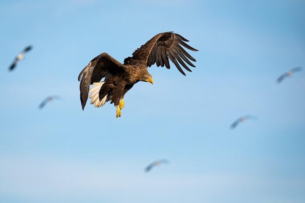 Erwachsener weißschwanzadler, der gegen blauen himmel bei sonnenuntergang fliegt, der unten schaut