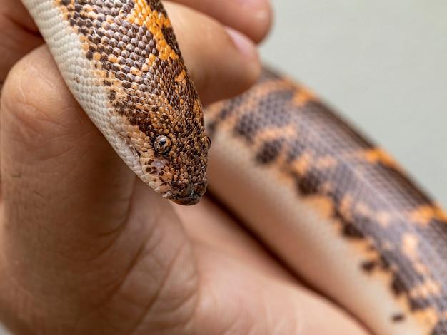 Eryx jayakari, allgemein bekannt als arabische sandboa oder jayakars sandboa, ist eine schlangenart aus der familie der boidae.