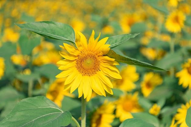 Es gibt viele sonnenblumen auf den feldern