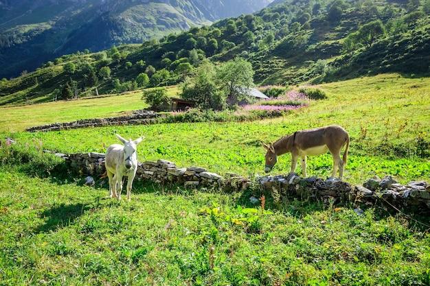 Esel auf einem feld, pralognan la vanoise