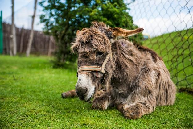 Esel, der auf dem gras liegt