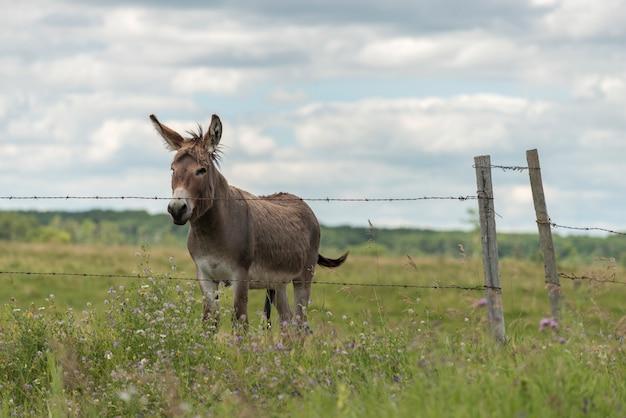 Esel, der auf einem gebiet, see audy campground, reitberg-nationalpark, manitoba, kanada steht