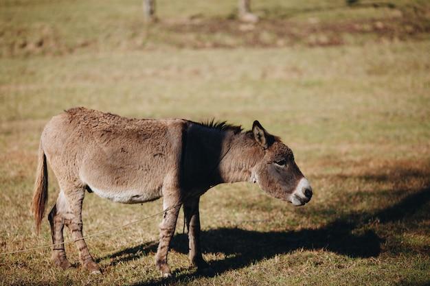 Esel, der draußen gras, nahaufnahme isst