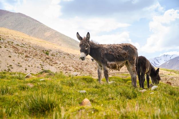 Esel der wild lebenden tiere auf berg