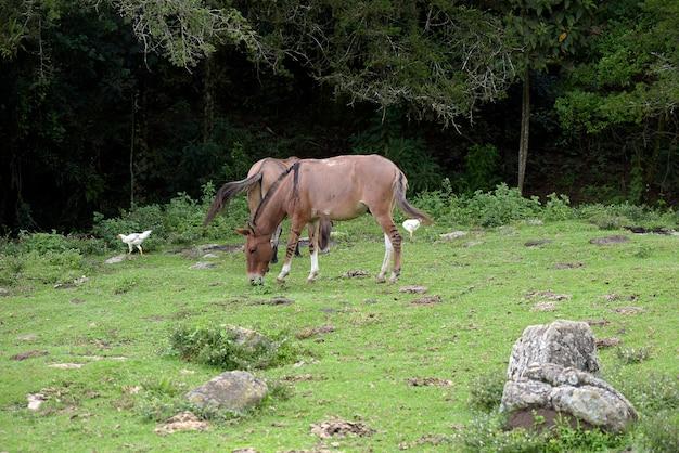 Esel, die auf grünem gras grasen Premium Fotos