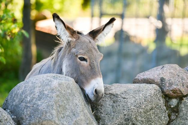 Eselkopf lustiges graues esel domestiziertes mitglied der pferdefamilie