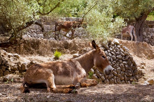 Eselmaultier auf s mittelmeerfeld des olivenbaums von majorca