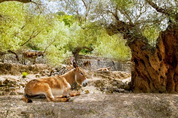 Eselmaultier, das im mediterranen olivenbaum sitzt