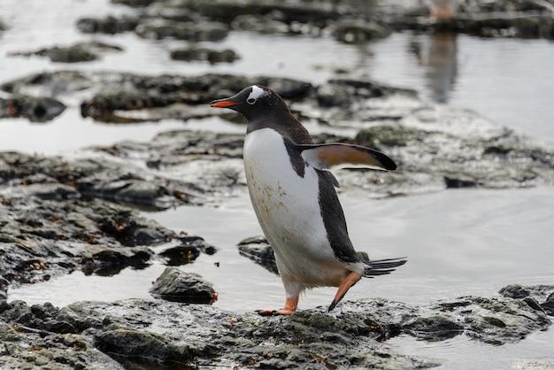 Eselspinguin, der auf strand in der antarktis geht