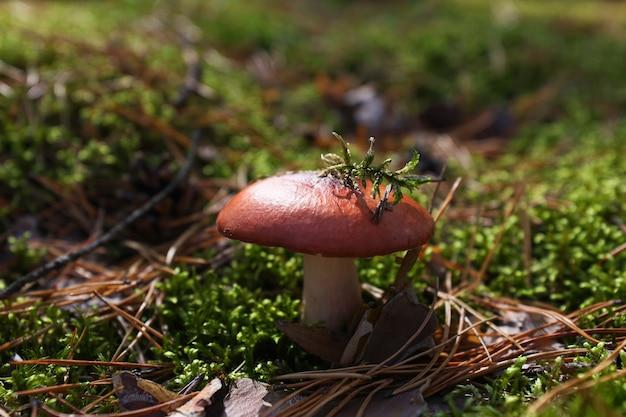 Essbare pilze, die im wald wachsen