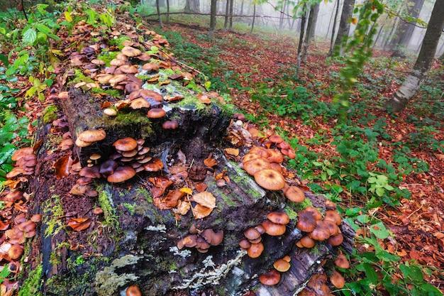 Essbare pilze in einem herbstwald